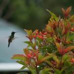 Panama_Kolibri