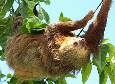 Faultiere bewohnen mit Vorliebe die tropischen Regenwälder in Süd- und Mittelamerika.