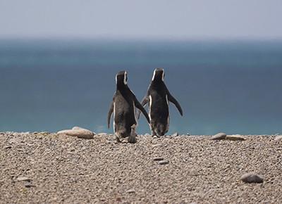 A pair of Magellanic Penguins (Spheniscus magellanicus) at Punta Tombo, Argentina, heading for the sea