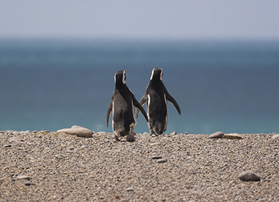 Chile Magellan Pinguine