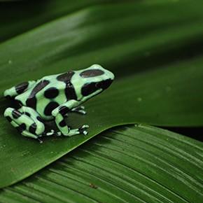 Kröten wechseln in Costa Rica