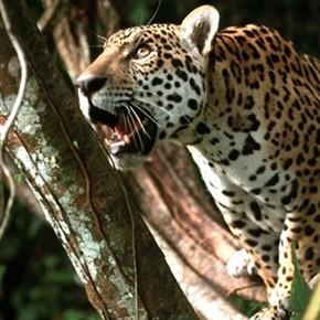 Argentinien: Jaguare in Ibera