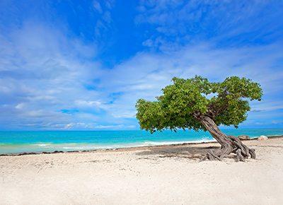 Divi Baum am ausgezeichneten Eagle Beach Strand auf Aruba, Karibik.