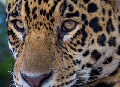 jaguar pantanal brasilien