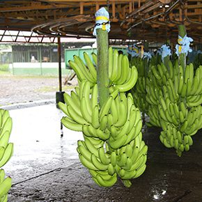 Bananen aus Costa Rica