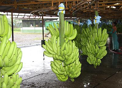 bananen costa rica