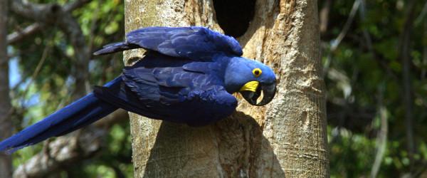 Tiere beobachten im Pantanal - der Hyazinth-Ara.