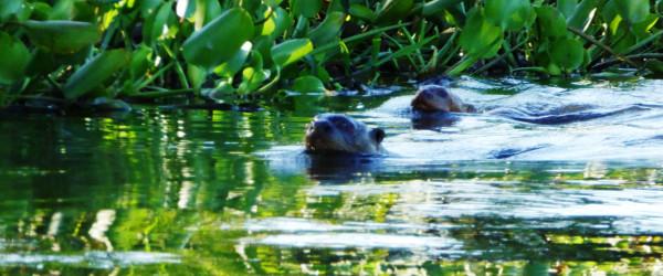 Schwimmende Riesenotter im Pantanal.
