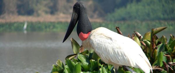 """Einer der Vögel des Pantanals: der """"Jabiru"""""""