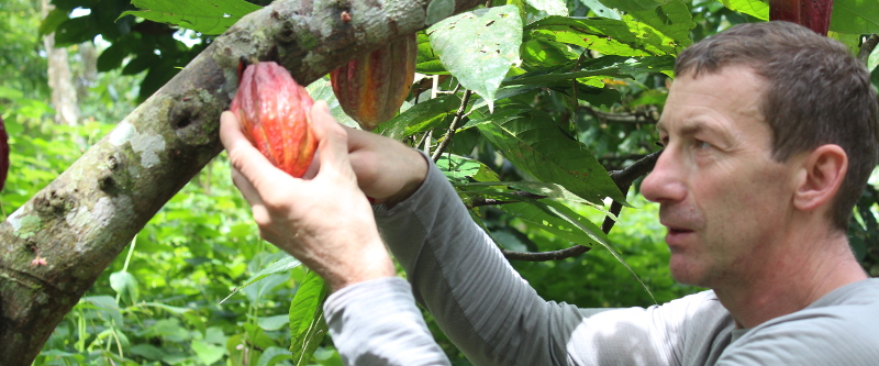 Guido erntet Kakao