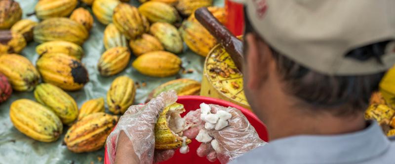 Das Herausholen der Kakaobohnen aus der Frucht