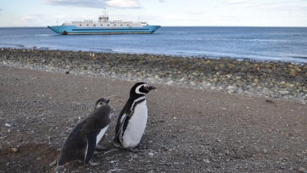 Der Magellan-Pinguin auf der Isla Magdalena